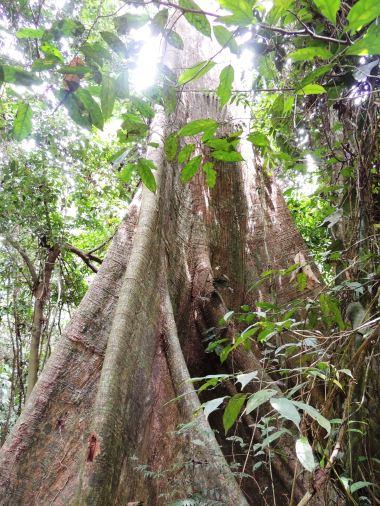 Kakum forest roots 2